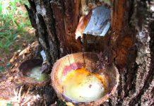 Sadapan Getah Pinus, Kawasan Hutan Lindung Nagari Simarasok